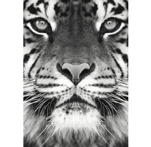 Poster Tiger 50x70 cm