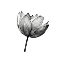 Poster Lotus 30x40 cm