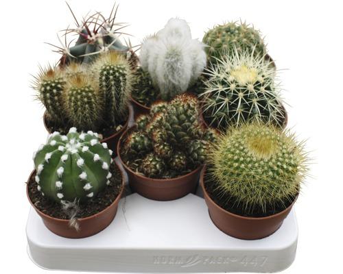 Kaktus FLORASELF 15-20xØ8,5cm i kruka sorterad