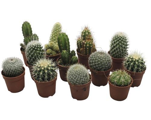 Kaktusmix