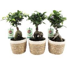 Citronfikus FLORASELF Ficus microcarpa Ginseng 30-35xØ14cm
