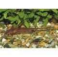 Rineloricaria SP röd 5-7cm