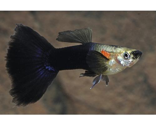 Guppy black and white 3-4,5cm