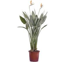 Papegojblomma FLORASELF Strelitzia regianae Ø35cm