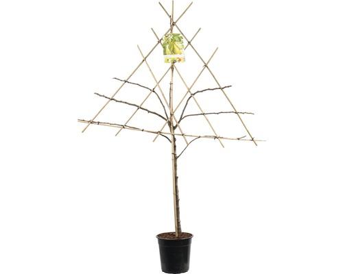 Päronspaljé FLORASELF Pyrus communis 125-150cm co 7L