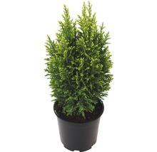 Ädelcypress Snow White 20-25 minijulgran som växer i kruka co 0,5L