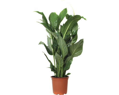 Fredskalla FLORASELF Spathiphyllum wallisii Sweet Silvio 70-80xØ17cm