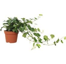 Murgröna FLORASELF Hedera helix Wonder 20-35cm Ø13cm