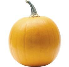 Halloweenpumpa 20-25cm